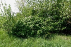 Common-Lilac-Plant-growing-wild