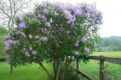 Common-Lilac-plant