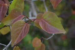 Fall-leaves-of-Common-Lilac
