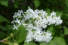 Other-variety-of-Common-Lilac