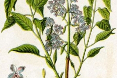 Plant-Illustration-of-Common-Lilac