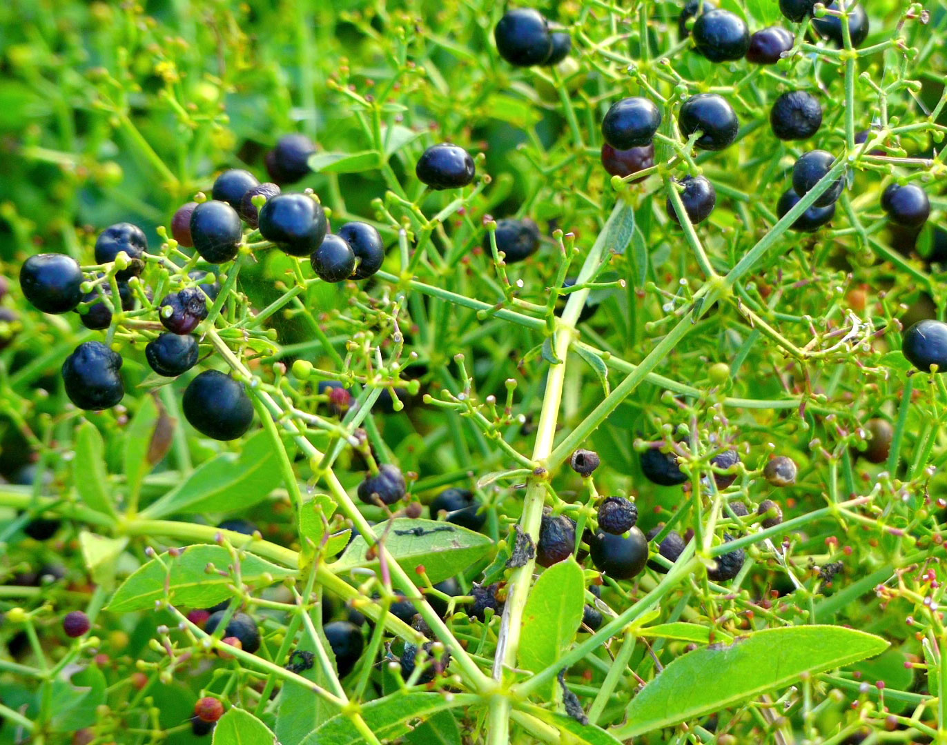 Mature-fruits-of-Common-Madder