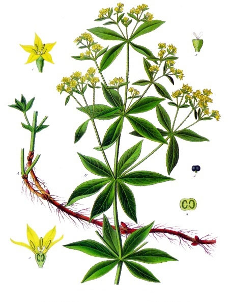 Plant-illustration-of-Common-Madder