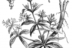 Sketch-of-Common-Madder