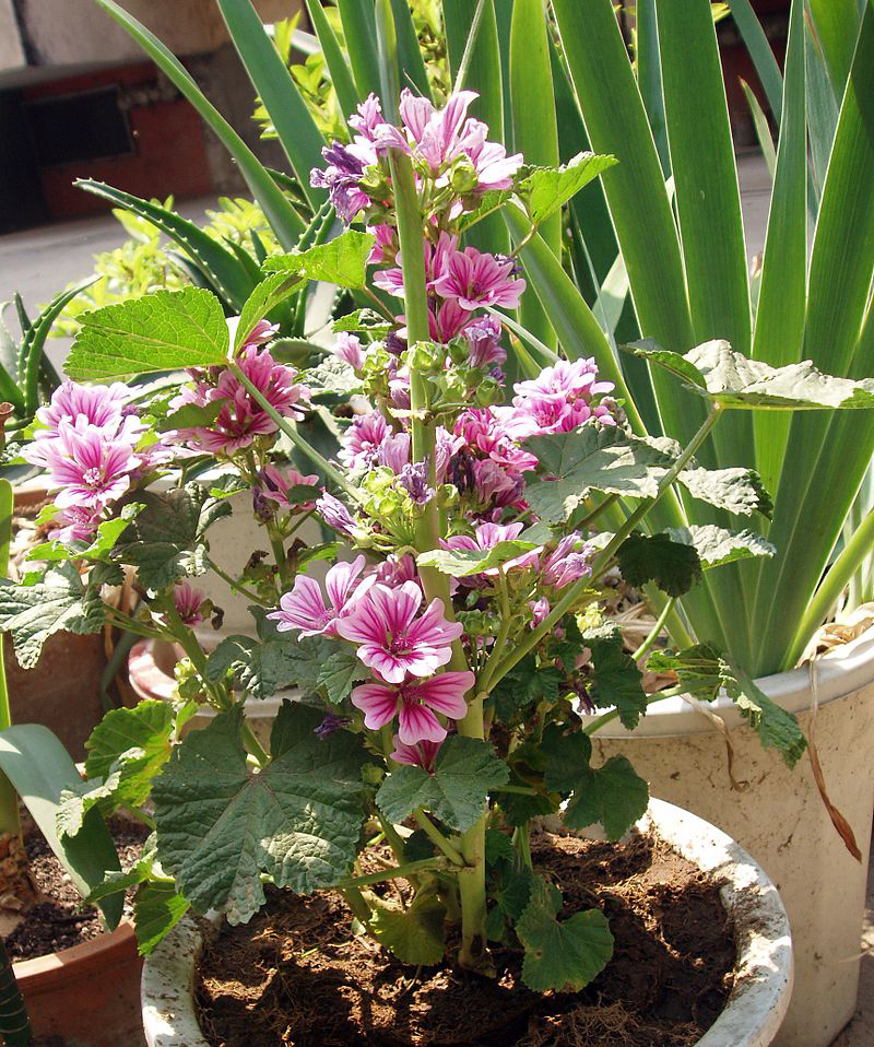 Common-Mallow-Plant-growing-on-the-pot