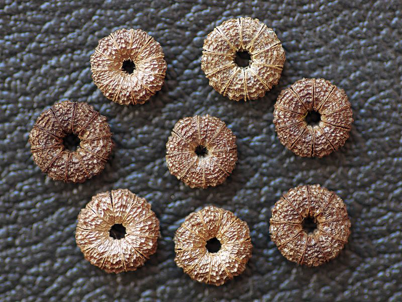 Ripe-Nutlets-of-Common-Mallow