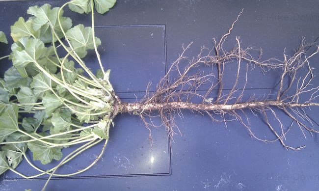 Root-of-Common-Mallow