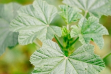 Leaves-of-Common-Mallow