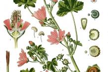 Plant-Illustration-of-Common-Mallow