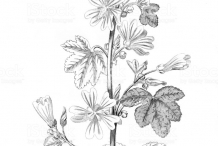Sketch-of-Common-Mallow