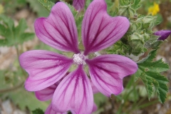 Flower-of-Common-Mallow