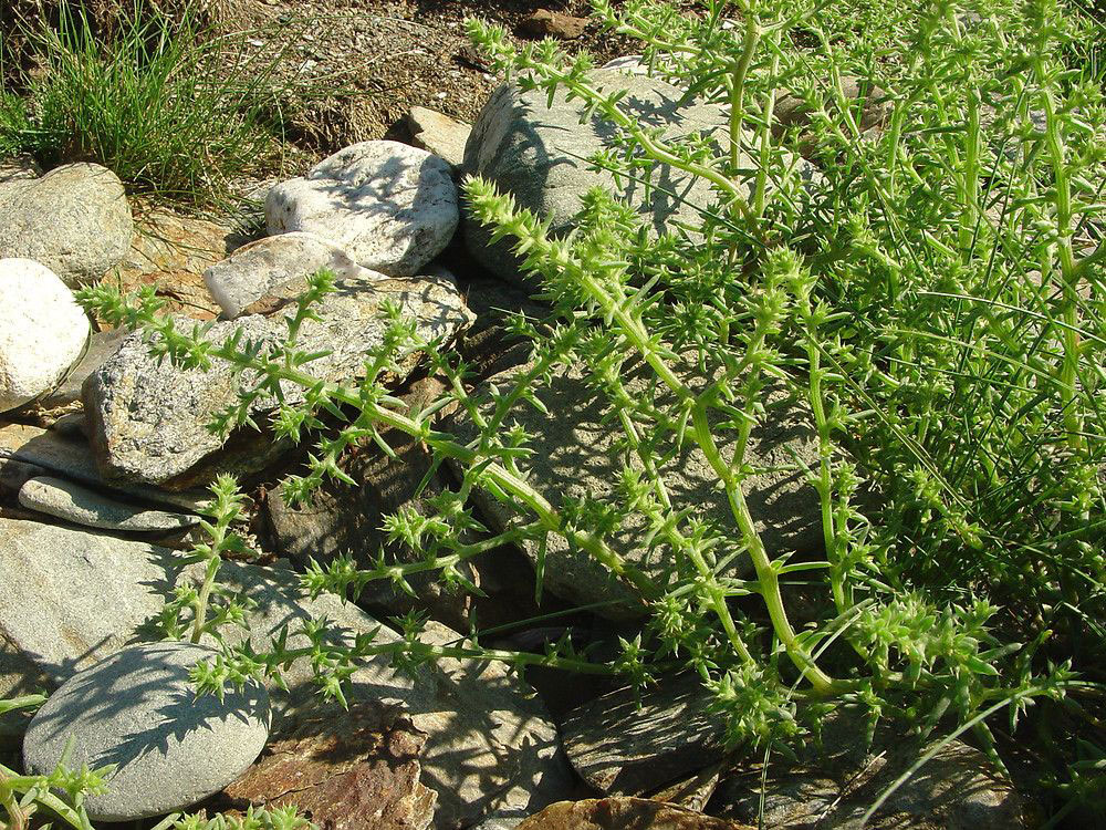 Common-saltwort-growing-wild