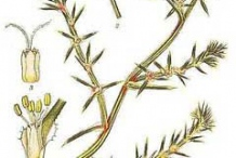 Plant-illustration-of-Common-saltwort