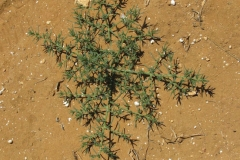 Single-Common-saltwort-plant