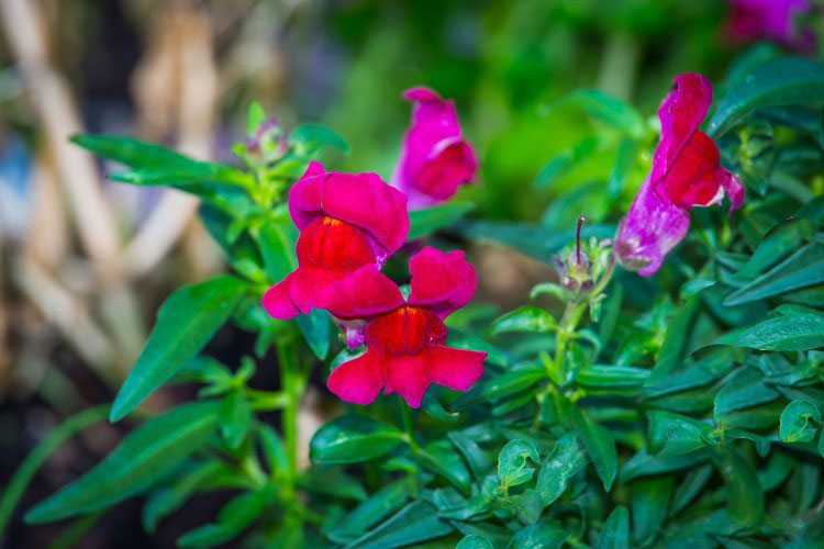 Common-Snapdragon-Flower
