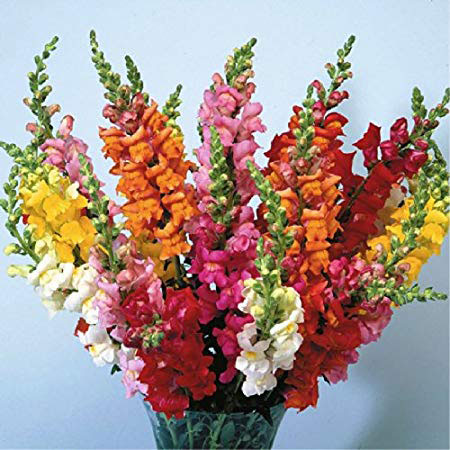 Different-varieties-of-Common-Snapdragon