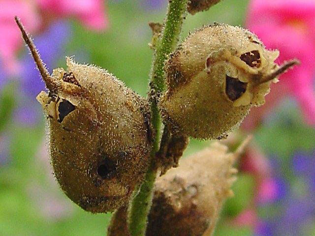 Mature-Seed-pods-of-Common-Snapdragon