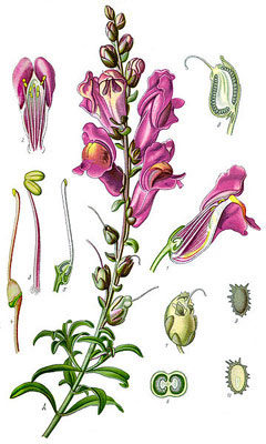 Plant-Illustration-of-Common-Snapdragon