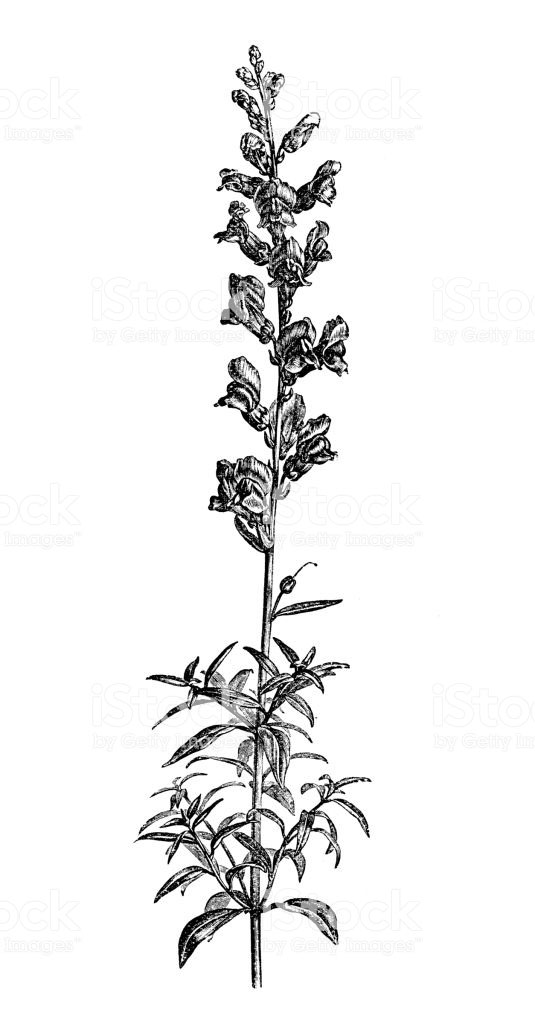 Sketch-of-Common-Snapdragon