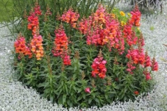 Common-Snapdragon-Plant