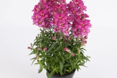 Common-Snapdragon-grown-on-pot