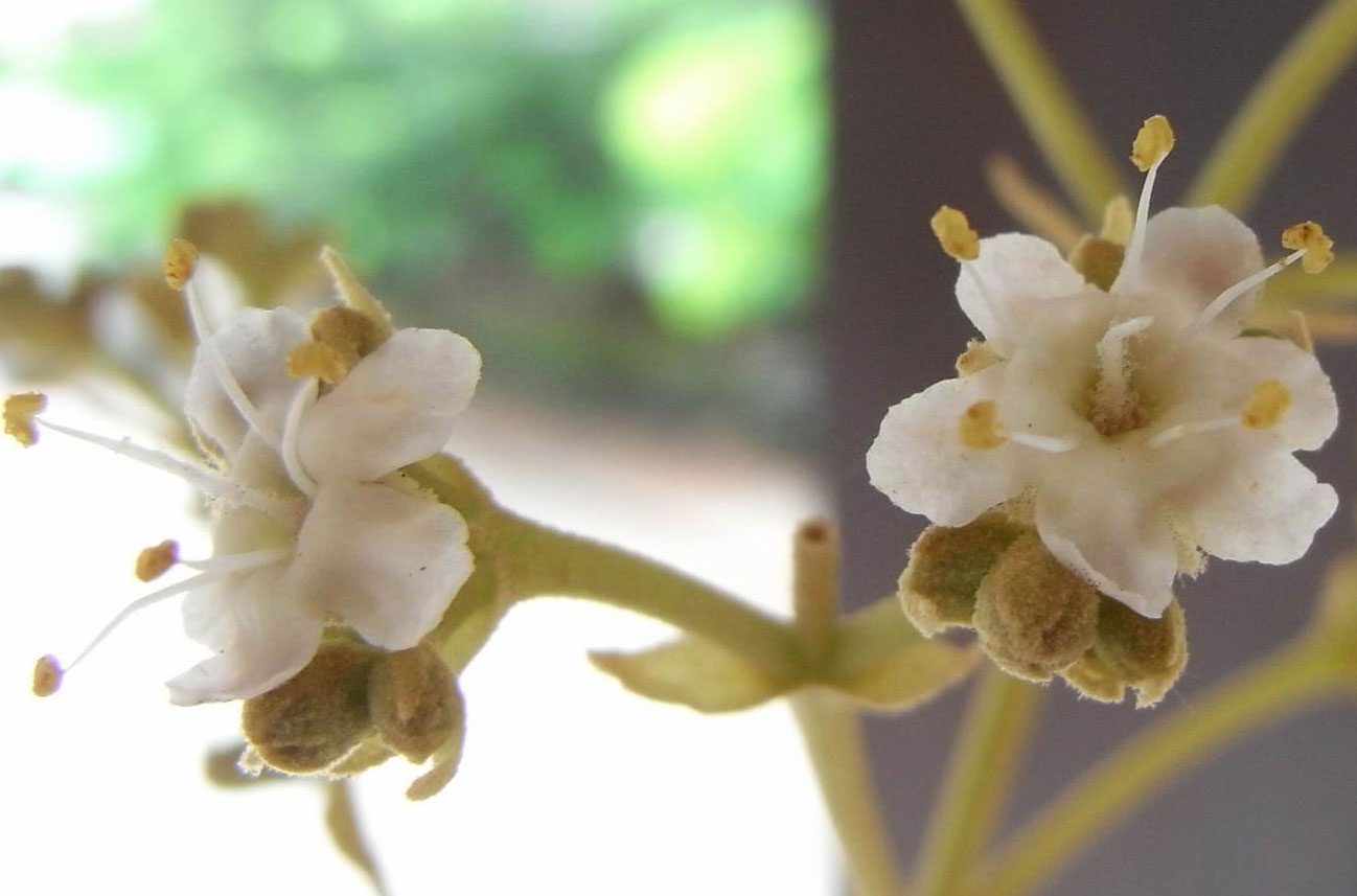 Closer-view-of-flowers-of-Common-Teak