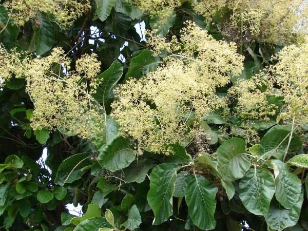 Flowers-of-Common-teak