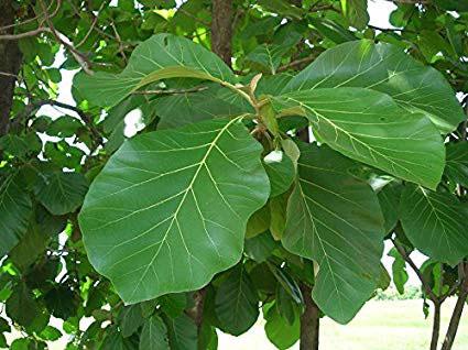 Leaves-of-Common-Teak