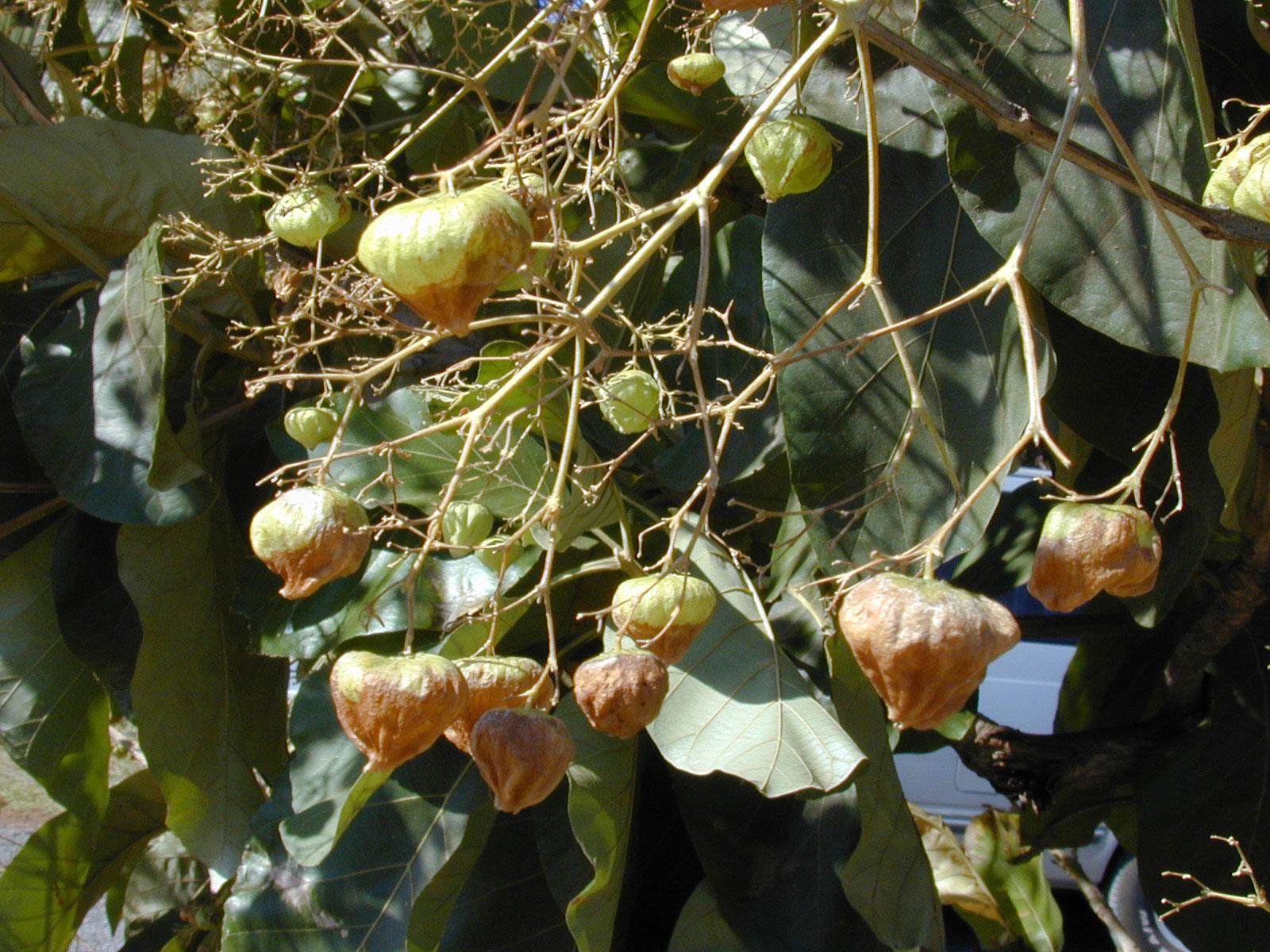 Mature-fruits-of-Common-teak