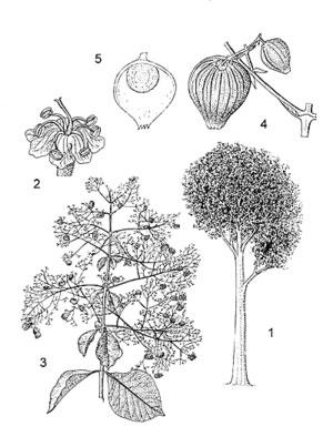 Sketch-of-Common-teak