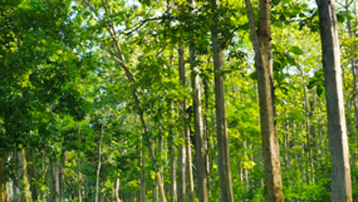 Teak-tree-growing-wild