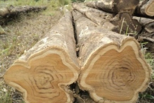 Logs-of-Common-teak-tree