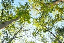 Teak-tree