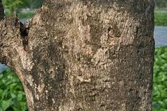 Bark-of-Teak-tree