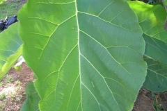 Closer-view-of-leaf-of-Common-teak