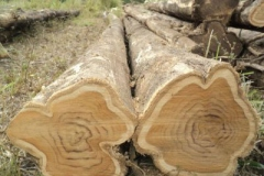 Logs-of-Common-teak-tree