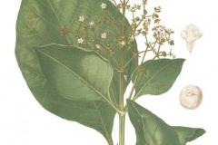 Plant-Illustration-of-Common-teak