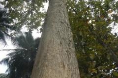 Trunk-of-Teak-tree