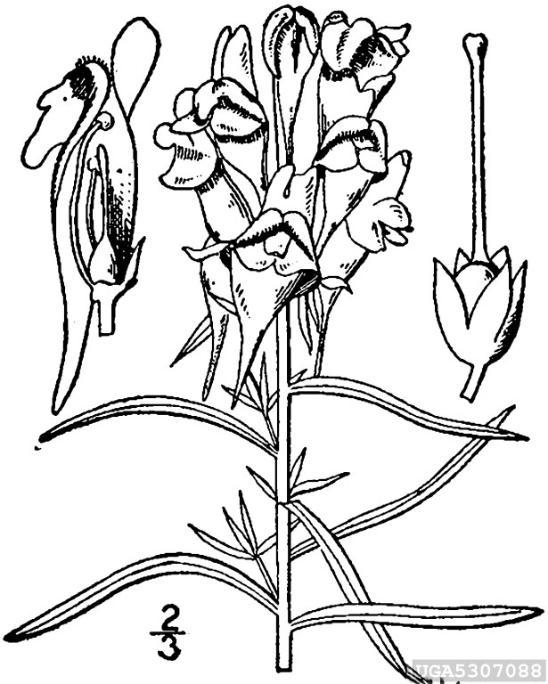 Sketch-of-Common-Toadflax