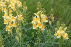 Common-Toadflax-plant-growing-wild