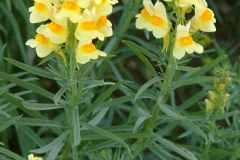 Common-Toadflax-plant