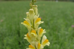 Flower-of-Common-Toadflax