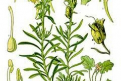 Plant-Illustration-of-Common-Toadflax