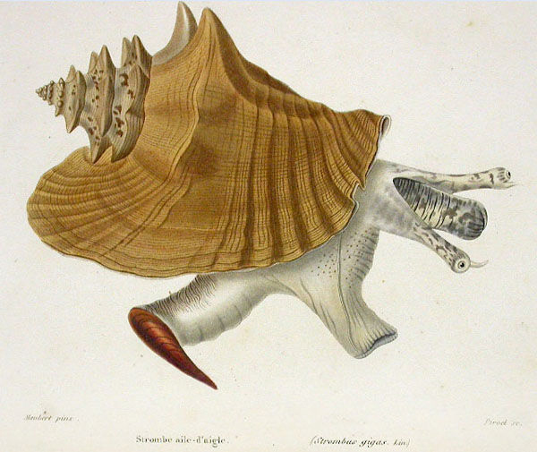 Illustration-of-Conch