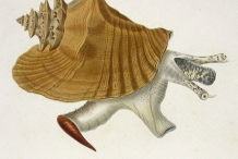 Illustration-of-Conch