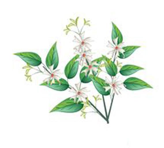 Sketch-of-Coral-jasmine