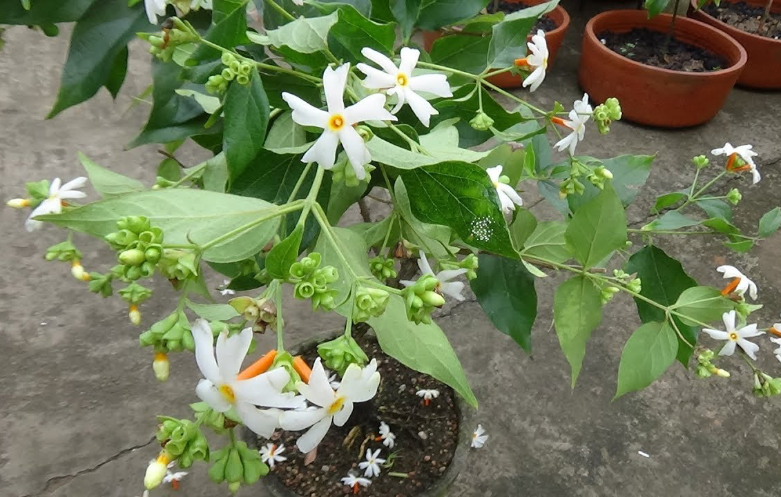 Small-Coral-Jasmine-plant