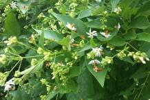 Coral-Jasmine--plant