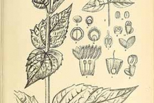 Plant-Illustration-of-Coral-jasmine