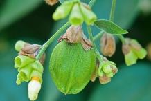 Unripe-Coral-jasmine-Fruit-on-the-tree